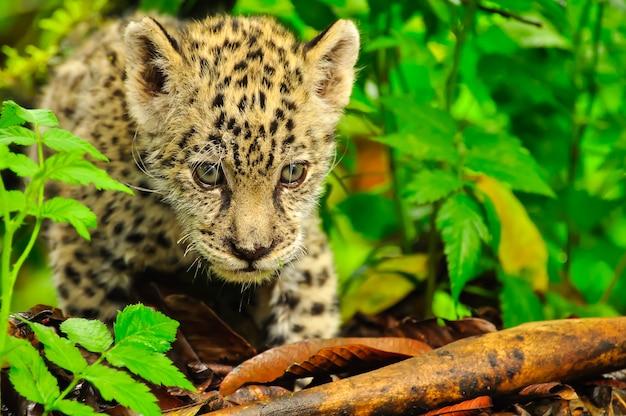Un Jeune Jaguar Dans L'herbe Photo Premium