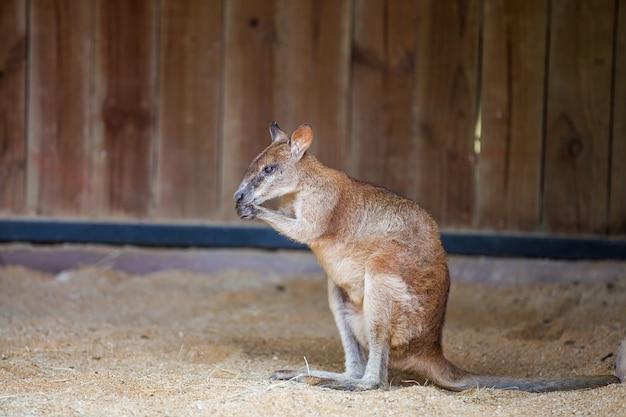 Jeune kangourou rouge est assis sur le sable Photo Premium