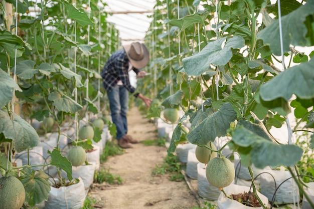 Jeune melon vert ou cantaloup poussant dans la serre Photo gratuit