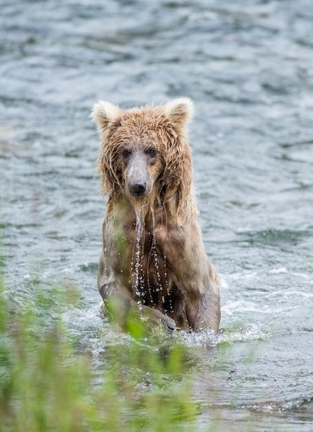 Jeune Ours Brun Est Debout Sur Les Pattes Arrière Dans L'eau De La Rivière Photo Premium