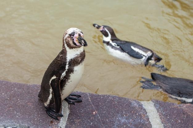Jeune Pingouin Dans Le Zoo. Pingouin Est Debout Sur Une Pierre. Photo Premium