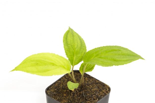 Jeune plantule verte de passiflore dans un pot de fleurs en argile Photo Premium