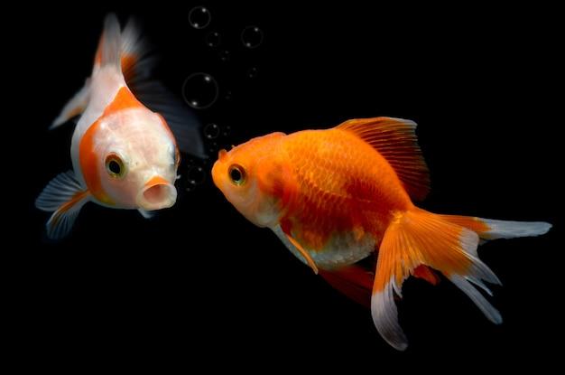 Jeune poisson doré en aquarium. Photo Premium