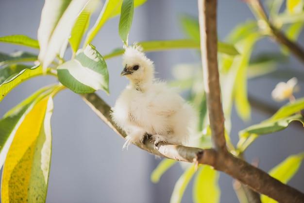 Jeune Poulet Noir Et Blanc Soyeux Dans Le Jardin Photo Premium