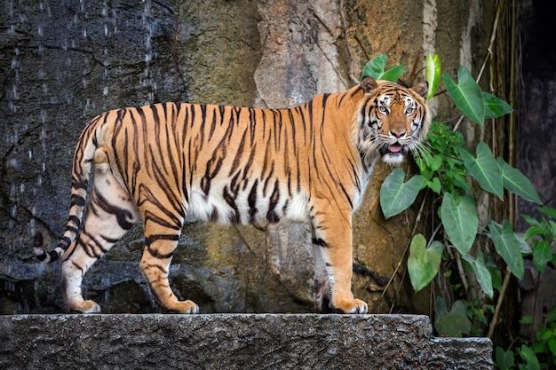 Jeune Tigre De Sumatra Debout Dans L'atmosphère Naturelle Du Zoo. Photo Premium