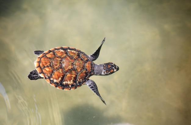 Jeune tortue de mer nageant dans la piscine de la pépinière au centre de reproduction. Photo Premium
