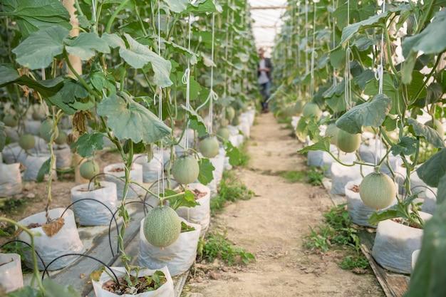 Les jeunes agriculteurs analysent la croissance des effets du melon dans les serres Photo gratuit