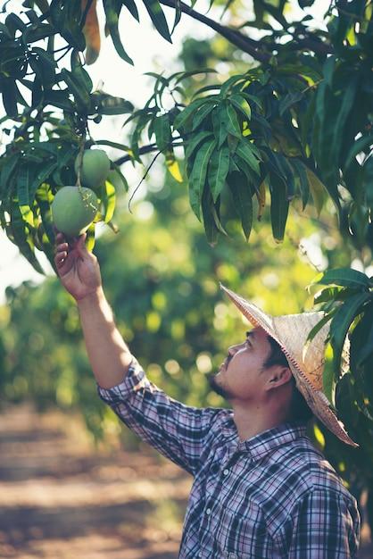Les jeunes agriculteurs vérifient le rendement dans le verger, le jardin de manguiers. Photo Premium