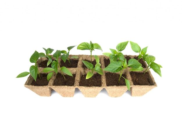 Jeunes plants de poivre isolés Photo Premium