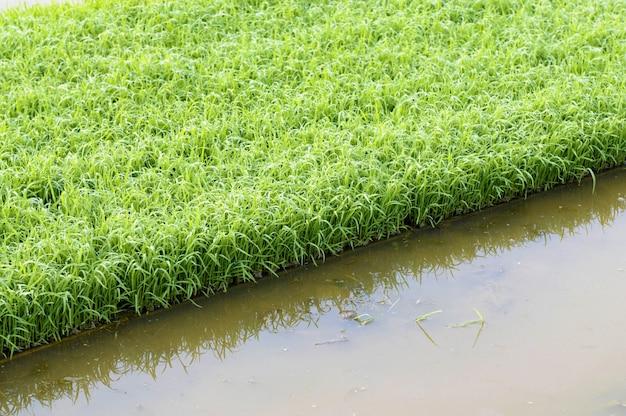 Les Jeunes Plants De Riz Poussant Dans Des Plateaux Au Bord De La Rizière Photo gratuit