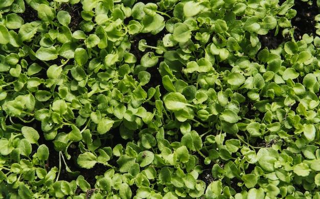 Jeunes Plants Verts De Lobelia. Photo Premium