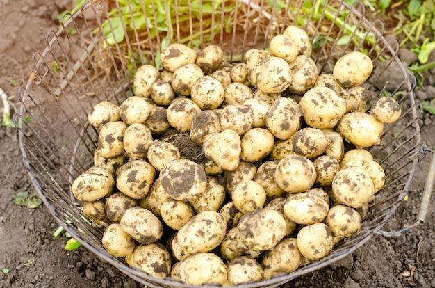 Jeunes pommes de terre jaunes fraîches dans la grille Photo Premium