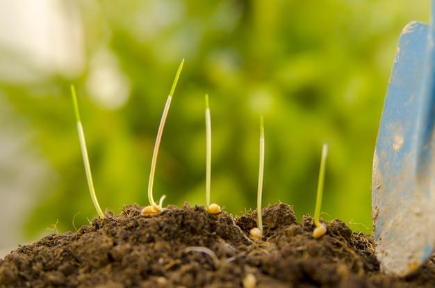 Jeunes pousses de blé et de blé sur le sol du sol au printemps. Photo Premium