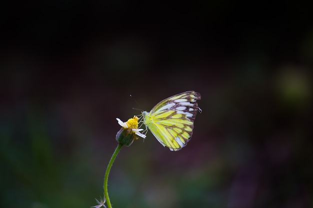 Jezebel butterfly Photo Premium
