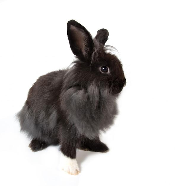 Joli lapin noir assis sur fond blanc Photo Premium