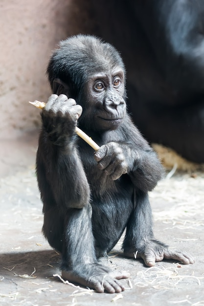 Joli petit bébé gorille joue avec un bâton Photo Premium