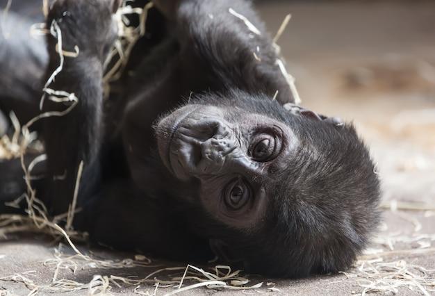 Joli petit bébé gorille se reposant sur le sol Photo Premium