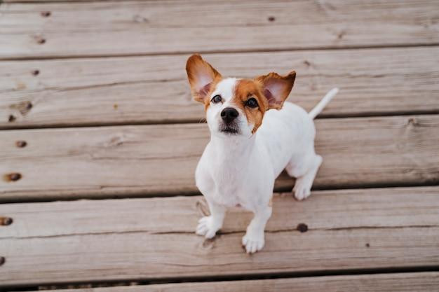 Joli Petit Chien Jack Russell Terrier Se Trouvant Sur Un Pont En Bois à L'extérieur Et à La Recherche De Quelque Chose Ou De Quelqu'un. Animaux De Compagnie En Plein Air Et Mode De Vie. Vue De Dessus Photo Premium