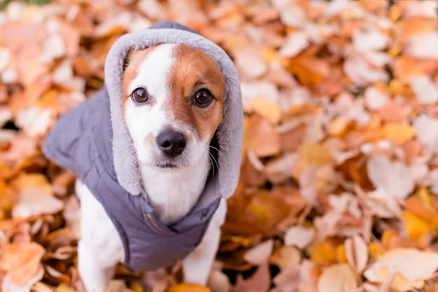 Joli petit chien avec un manteau gris assis sur des feuilles jaunes. l'automne Photo Premium