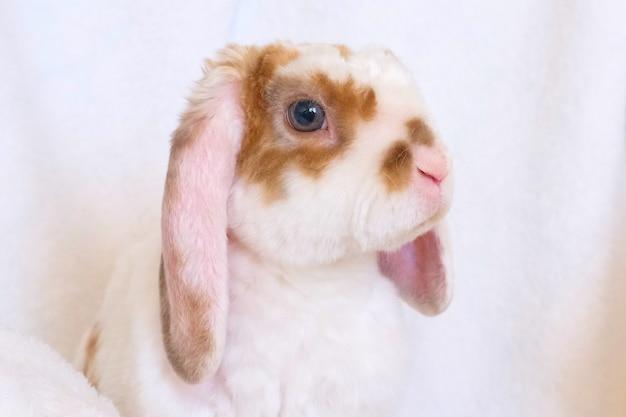 Joli petit lapin orange et blanc aux grandes oreilles Photo Premium
