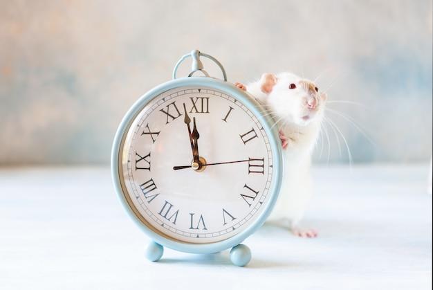 Joli petit rat blanc, la souris est assise dans des horloges vintage. deux minutes avant le nouvel an du rat. symbole du nouvel an chinois Photo Premium