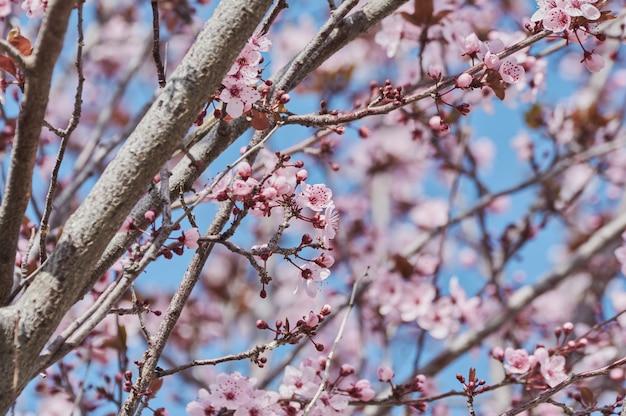 Jolie amandier à fleurs roses au mois de février Photo Premium