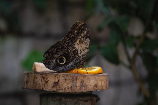 Jolie chouette papillon mangeant des fruits. papillon qui ressemble à un oeil. Photo Premium