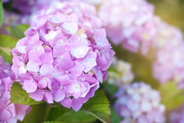 Jolies fleurs d'hortensia rose. Photo Premium