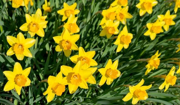 Jonquilles de belles fleurs jaunes. Photo Premium