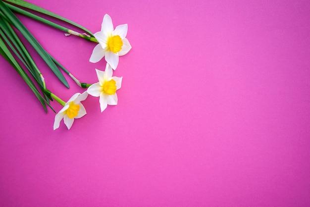 Jonquilles Sur Un Rose Vif Photo Premium