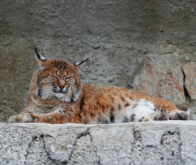 Jour D'été Lynx Photo Premium