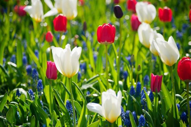 Journée de la femme. la saint valentin. tulipes de printemps. Photo Premium