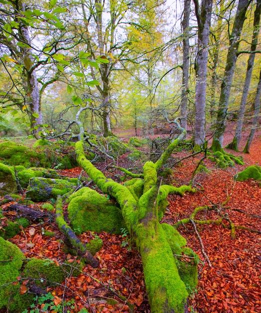 Jungle de hêtres selva de irati en automne dans les pyrénées de navarre en espagne Photo Premium