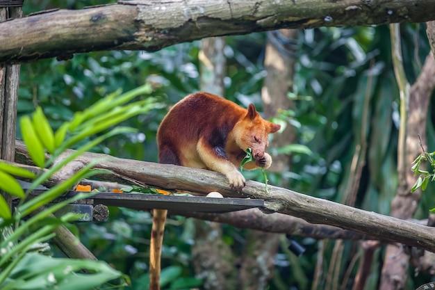 Kangourou arbre assis sur une branche d'arbre Photo Premium