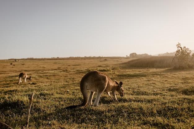 Kangourou Mange De L'herbe Photo gratuit