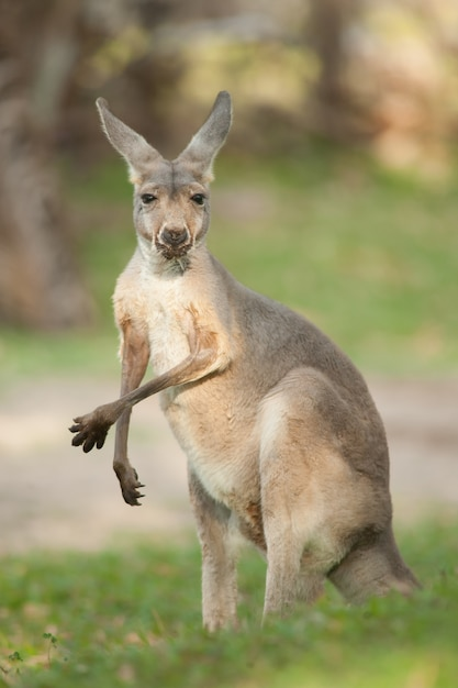 Kangourou rouge Photo Premium
