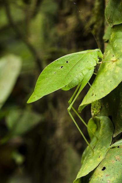 Katydid Imitant Les Feuilles, Orophus Tesselatus Photo gratuit