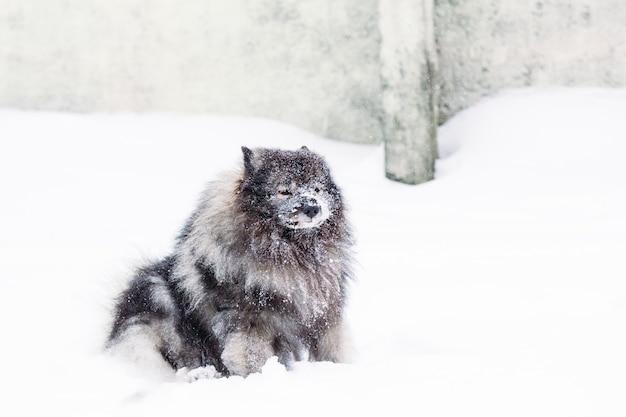 Keeshond avec le museau dans la neige Photo Premium