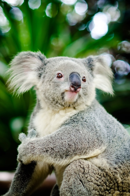 Koala assis sur un arbre. Photo Premium