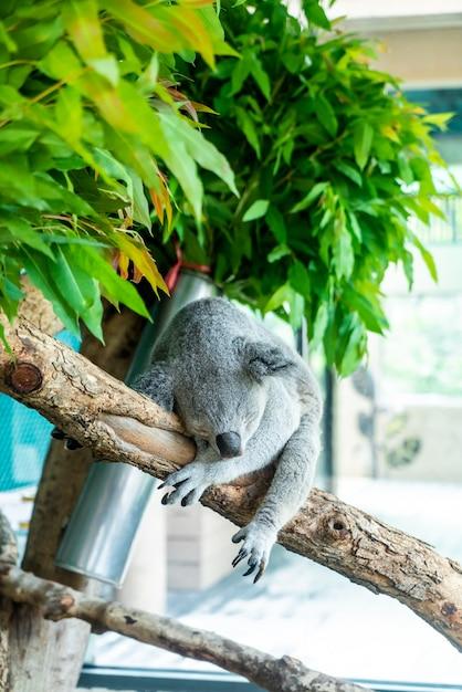 Koala au zoo Photo Premium