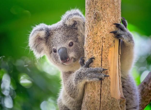 Le Koala Est Sur L'arbre. Photo Premium