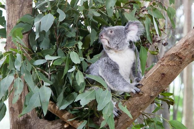 Koala ours sur un arbre Photo Premium