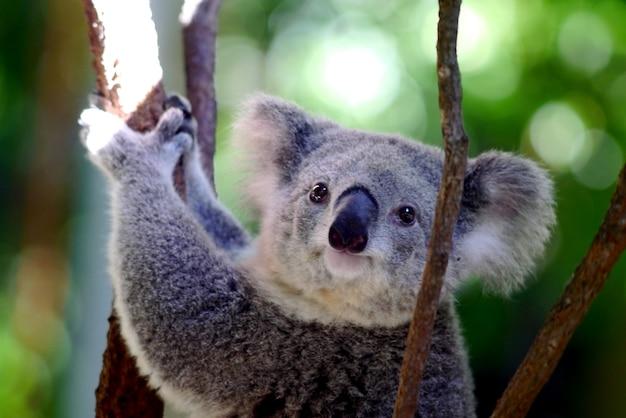 Koala Photo Premium