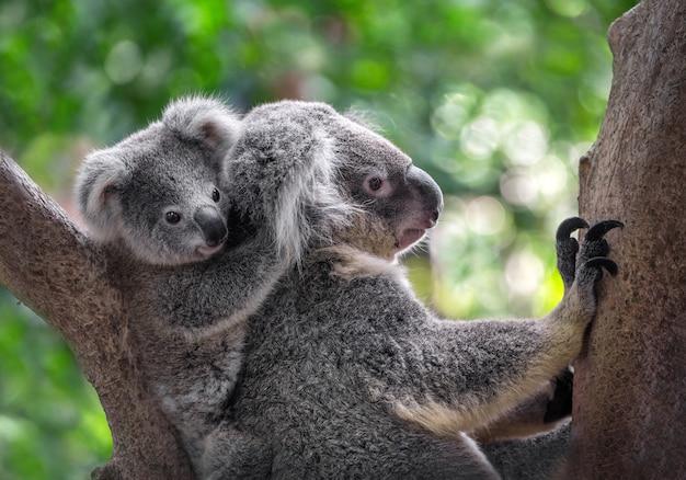Koalas mère et bébé sur l'arbre Photo Premium