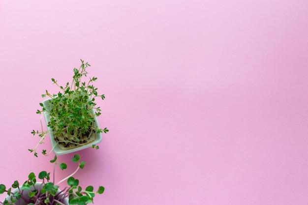 Kress microgreen, pousses de radis rose sur rose, plat poser, vue de dessus, fond Photo Premium