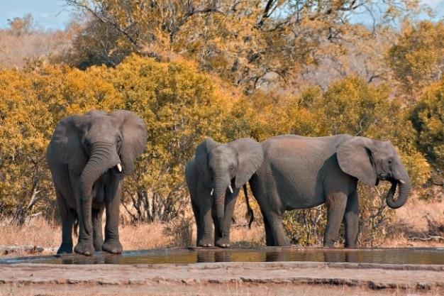 Kruger Parc Des éléphants Photo gratuit