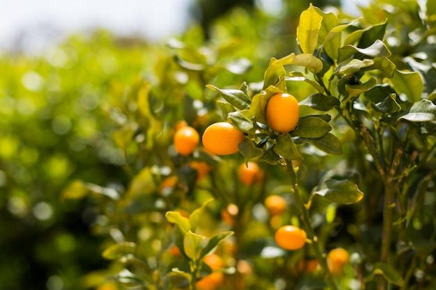 Kumquat fruits sur l'arbre contre l'arrière-plan flou Photo Premium