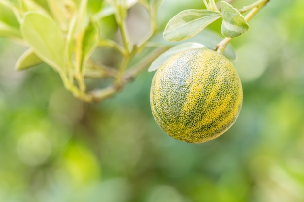 Kumquats ou citrus japonica thunb Photo Premium
