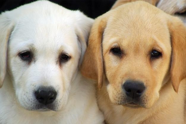 Labrador chiots chien Photo Premium