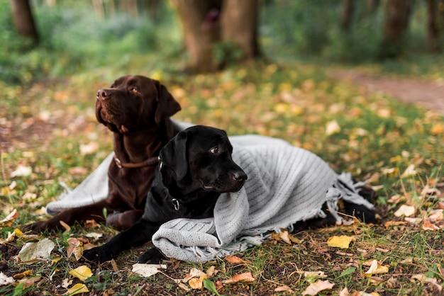 Labrador noir et marron couché sur l'herbe avec foulard blanc Photo gratuit